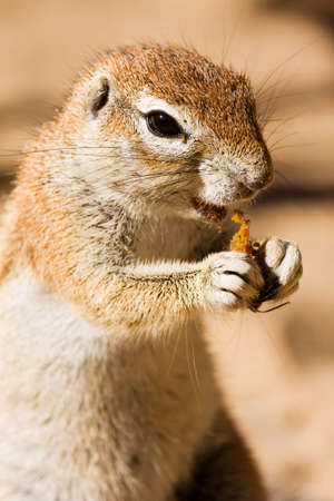 Watchful ground squirrel eating a piece of fruit photo