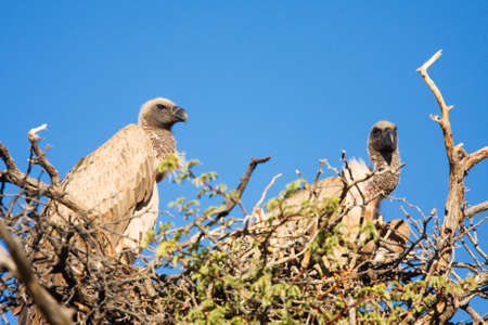 scavenge: Two vultures sitting in a treetop looking for food