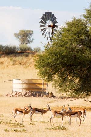 Herd of springbuck standing near waterhole and windpump photo