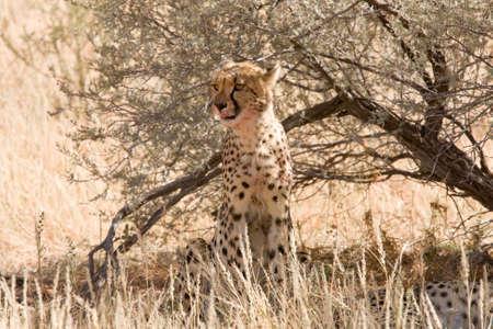 Young adult cheetah sitting underneath shrub in Kalahari desert photo