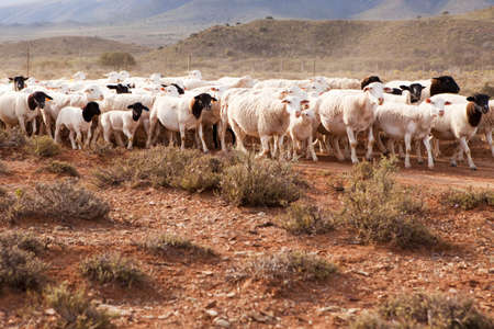 Flock of sheep walking on dirt road in semi-dessert country photo