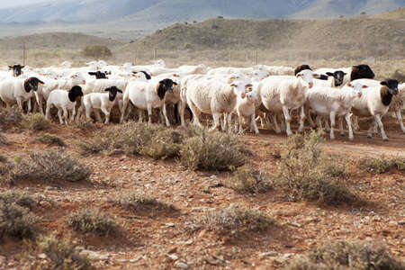 A flock of Dormer sheep walking on a gravel road in arid region photo