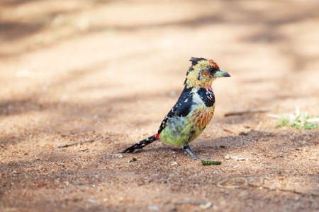 scavenging: Beautiful crested barbet scavenging for food on the ground