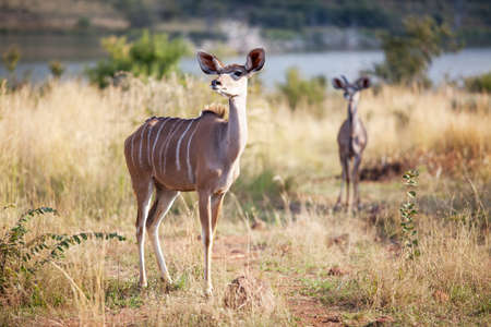Two alert kudus walking in nature reserve, selective focus photo