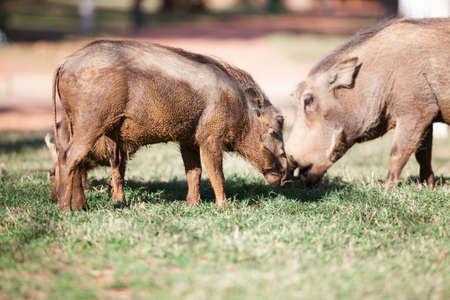 bush hog: Mud cubierto jabal�es se alimentan de hierba en el Parque Nacional Pilanesberg Foto de archivo