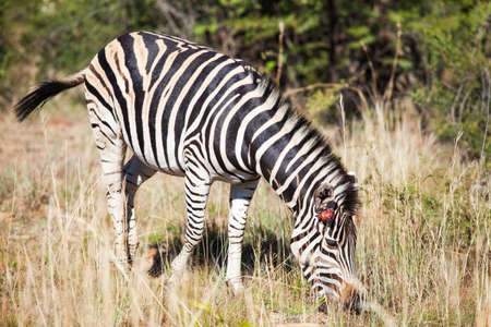 tall grass: Single wounded zebra grazing between tall grass in nature reserve, South Africa