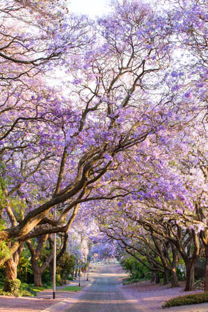 Beautiful purple jacaranda trees blooming during October in Pretoria, South Africa Stock Photo