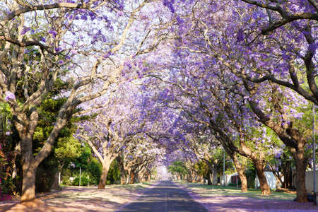 in lined: Jacaranda tree-lined street in South Africa