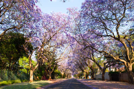 africa tree: Early morning street scene in Pretoria, South Africa
