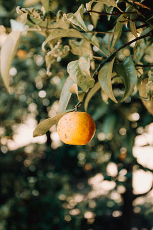 A single orange fruit hanging from the tree Stock fotó