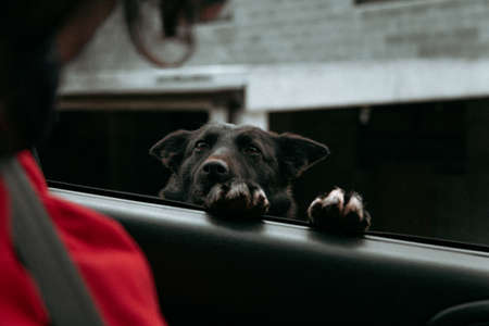 A curious black dog asking for attention in a car