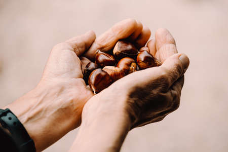 A close up of two old hands grabbing and offering a lot of chestnuts with copy space