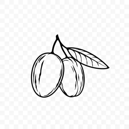 Argan oil sketch icon. Vector argan nut seed on leaf branch for cosmetic product and package design