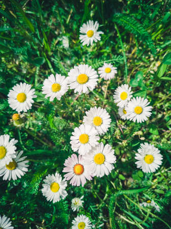 Many white daisies in top view of meadow, green grass with white daisies on the meadow,