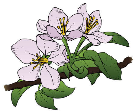 A realistic drawing of a group of apple blossoms on a branch