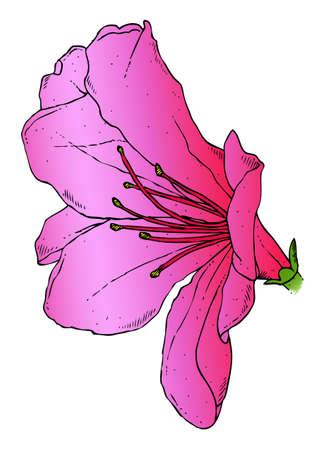 azal�e: Un dessin r�aliste d'une azal�e rose Illustration