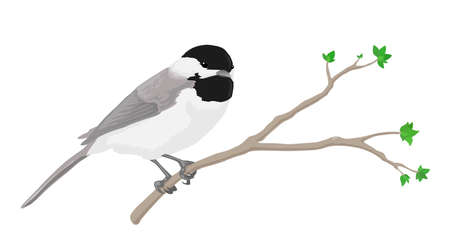 chickadee: A black-capped chickadee perched on a branch