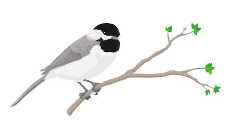 Un chickadee negro-capsulado encaramado en una rama