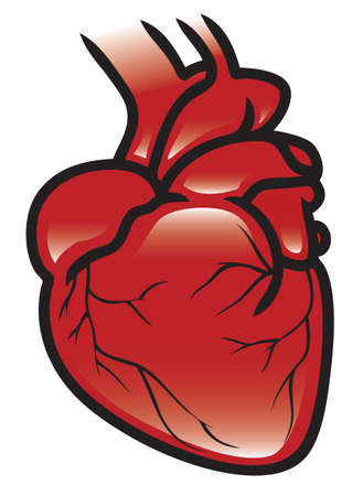 Illustration of a human heart  Vector