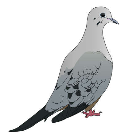 mourning: A mourning dove illustration on white