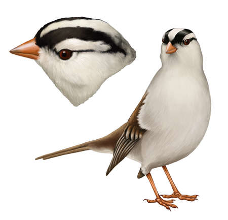 A realistic digital painting of a white-crowned sparrow with profile  Stock Photo