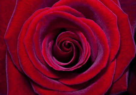 Red rose Stock Photo - 8860903