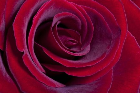 Red rose Stock Photo - 8860907
