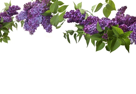 lilac flower: Lilac