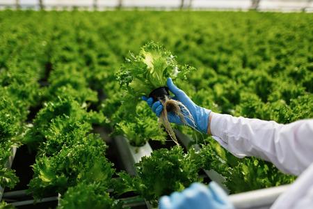 Qualitätskontrolle. Junge Wissenschaftlerin stselects neue Generation von grünem Salat für den Verbrauch in einem Gewächshaus optimiert. Fokus auf der Hand