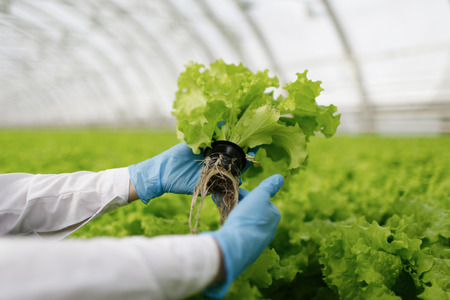 agriculture: Quality control. Young female scientist stselects new breed of green salad optimized for consumption at greenhouse. Focus on the hand