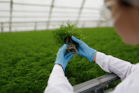 observes: Quality control. Senior scientist or tech observes new breed of cress sprouts optimized for consumption in greenhouse. Focus on the hand