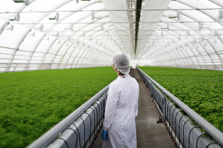biotecnologia: Científicos agrícolas Júnior investigación de plantas y enfermedades en invernadero con perejil