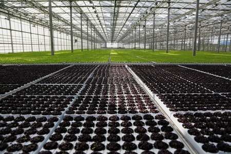 Young plants growing in very large plant  in commercial greenhouse Stockfoto
