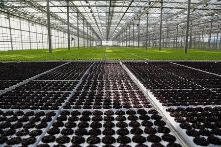 école maternelle: Les jeunes plantes qui poussent en très grande usine de serre commerciale