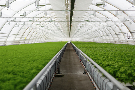 Young plants growing in very large plant commercial greenhouse