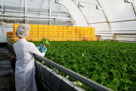 control de calidad: Control de calidad. Científico de sexo femenino joven stselects nuevo tipo de ensalada verde optimizado para el consumo en el invernadero. Centrarse en la mano Foto de archivo