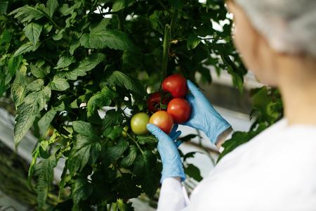 laboratorio: científico de alimentos que muestra los tomates en un invernadero Foto de archivo