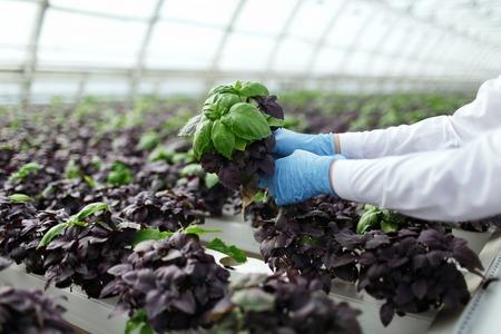 Kwaliteitscontrole. Senior wetenschapper of tech merkt stselects nieuw ras van basilicum geoptimaliseerd voor consumptie in de kas. Focus op de hand.