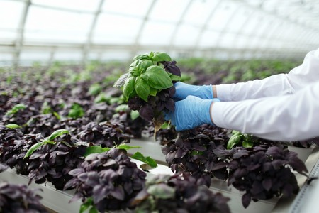 Quality control. Senior scientist or tech observes stselects new breed of basil optimized for consumption in greenhouse. Focus on the hand.
