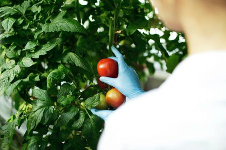 invernadero: Mujer ingeniero de la biotecnolog�a examinar a las plantas para la enfermedad de la granja de efecto invernadero. cient�fico de alimentos que muestra los tomates en un invernadero.