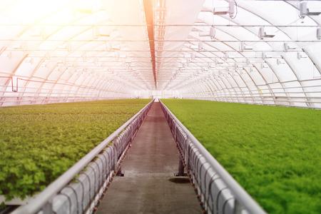 invernadero: de efecto invernadero org�nico. Las plantas j�venes que crecen en gran planta en invernadero comercial