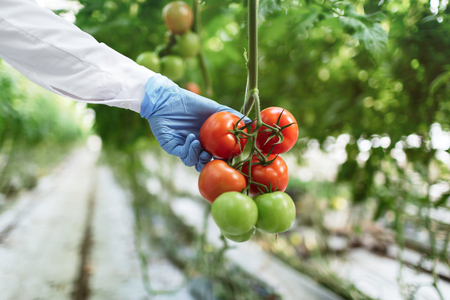Biotechnology woman engineer examining a plants for disease from greenhouse farm. Food scientist showing tomatoes in a greenhouse. Banco de Imagens - 52008634