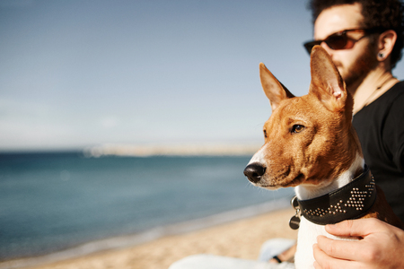Close up portrait dog breed Basenji sitting at sand and looking in camera enjoying sun in Barcelona. In the background beautiful young man with tattoos wearing black t-shirt and jeans
