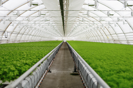 market gardener: Organic greenhouse. Young plants growing in very large plant in commercial greenhouse