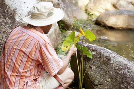 conservationist: Science and environment. Rear shot of conservationist or ecologist wearing striped shirt and panama hat holding plant with green leaves and studying numerous spots on them, ready to make test Stock Photo