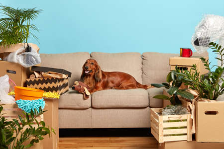 Horizontal shot of pedigree dog lies on comfortable sofa, plays with soft toy, waits for owners in new flat, surrounded with cardboard boxes full of domestic belongings, isolated on blue background Banco de Imagens