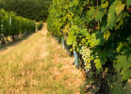 viticulture: Unripe grapes in a Hungarian viticulture,  in the Villany region Stock Photo