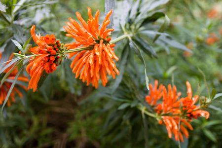 broadleaf: Leonotis leonurus, also known as lions ear, lions tail and wild dagga, is a plant species in the Lamiaceae family. The plant is a broadleaf evergreen large shrub native to southern Africa.