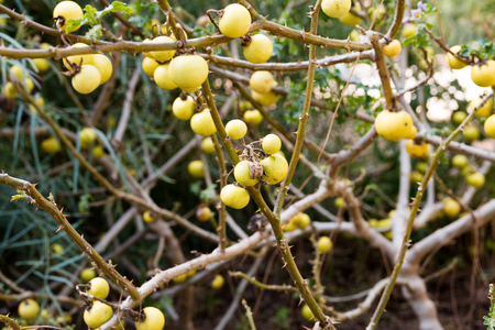 devils garden: Solanum linnaeanum is a nightshade species known as devils apple and, in some places where it is introduced, apple of Sodom. The latter name is also used for other nightshades and entirely different plants elsewhere. Native to southern Africa Stock Photo