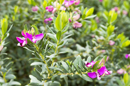 pea shrub: Polygala myrtifolia - Myrtle-leaf Milkwort (Sweet Pea Shrub) is an evergreen flowering shrub with flowers resembling those of the Sweet Pea. These are produced most of the year with a big flush usually in Spring. Stock Photo